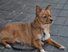 Patience (Scott 97006) Tags: dog patient alert petite animal