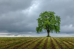 Single tree (Harald Schnitzler) Tags: langrickenbach thurgau schweiz ch