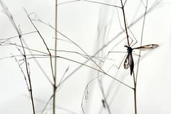 Hanging Out (NaturalLight) Tags: cranefly fly legs chisholmcreekpark wichita kansas
