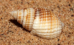 Mud snail (Nassarius (Niotha) albescens gemmuliferus) (shadowshador) Tags: mud snail nassarius niotha albescens gemmuliferus neomura eukaryota opisthokonta holozoa filozoa animalia lophotrochozoa mollusca conchifera gastropoda gastropod gastropods caenogastropoda caenogastropod caenogastropods neogastropoda neogastropod neogastropods buccinoidea nassariidae nassariinae conchology malacology invertebrate invertebrates taxonomy scientific classification biology sea snails shell shells sand sandy beach wildlife life jeddah makkah redsea
