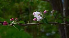 Pommier - Appletree (CHAM BT) Tags: pommier fleur printemps vert rose flower spring green pink fantasticnature