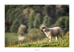 Up on the hill (AnthonyCNeill) Tags: lamb sheep ewe hill hills valley english countryside outdoor landscape trees farm anim tier grass evening light sun sunny spring primavera wool young nikon d750 200500mm f56