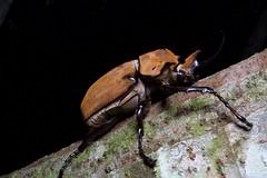 Elephant beetle (brian.gratwicke) Tags: taxonomy:kingdom=animalia animalia taxonomy:phylum=arthropoda arthropoda taxonomy:subphylum=hexapoda hexapoda taxonomy:class=insecta insecta taxonomy:subclass=pterygota pterygota taxonomy:order=coleoptera coleoptera taxonomy:suborder=polyphaga polyphaga taxonomy:infraorder=scarabaeiformia scarabaeiformia taxonomy:superfamily=scarabaeoidea scarabaeoidea taxonomy:family=scarabaeidae scarabaeidae taxonomy:subfamily=dynastinae dynastinae taxonomy:tribe=dynastini dynastini taxonomy:genus=megasoma megasoma taxonomy:species=elephas taxonomy:binomial=megasomaelephas elephantbeetle megasomaelephas escarabajoelefante taxonomy:common=elephantbeetle taxonomy:common=escarabajoelefante