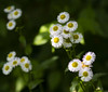 Wild Flowers (Southern Darlin') Tags: flower flowers wild wildflowers nature photography photo wildlife white yellow green leafs lights shadow yard hike walk canon