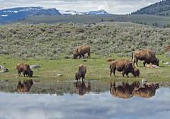 Bison reflections 1 (Joe Wicks) Tags: bison buffalo yellowstone wyoming montana baby calves animals wildlife nature 2018 mountains park water sky spring