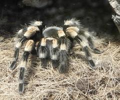 Jardin des Plantes: Ménagerie: spider: Brachypelma smithi (John Steedman) Tags: jardindesplantes フランス france frankreich frankrijk francia parigi parijs 法国 パリ 巴黎 ménagerie spider brachypelmasmithi