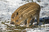 Young wild pigs (Tambako the Jaguar) Tags: wildpig pig young baby two together striped eating fir profile portrait sunny snow winter cold tierparklangenberg zürich switzerland nikon d5