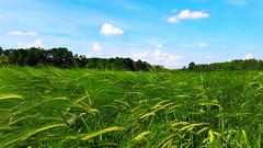 Nyárelő a végtelen búzavidéken (Ják közelében) (milankalman) Tags: wheat countryside landscape summer green