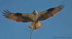 Osprey (Arvo Poolar) Tags: bird birdofprey raptor osprey outdoors ontario cardenontario wings arvopoolar nature natural naturallight nikond7000 naturephotography inflight