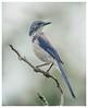 Scrub jay (Krasne oci) Tags: bird bokeh scrubjay garden nature wildbird backyardbirds evabartos artphotography photographicart