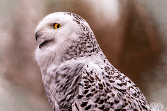 Let it Snow (Goromo) Tags: stillmannaturecenter snowyowl owl raptor portrait birdofprey