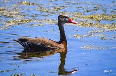 Black-bellied Whistling-Duck (jt893x) Tags: 150600mm bird blackbelliedwhistlingduck d500 dendrocygnaautumnalis duck jt893x nikon nikond500 sigma sigma150600mmf563dgoshsms whistlingduck thesunshinegroup coth alittlebeauty coth5