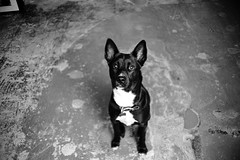 Roll 76 (travislikesfilm) Tags: travisyoung travislikesfilm chewy dog puppy blackandwhite ilfordhp5plus leicam6 film msoptic 28mmf2 apoqualiag wideangle