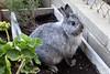 Jess (Escursso) Tags: conill conejo conejito bunny rabbit animal pet
