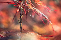 Life on the maple tree (drop_m) Tags: old oldlens manual manuallens macro manualfocus closeup vintage vintagelens primelens prime sony sony7rii sonyalpha7rii sonyilce7rm2 sonyalpha 7rmii 7rm2 ilce7rm2 ilce carl carlzeiss carlzeissjena zeiss jena carlzeissjenapancolar carlzeissjenapancolar50mmf18 pancolar50mm18 pancolar50mmf18 pancolar pancolar50mm 50mm f40 bokeh bokehlicious bokehofvintageprimes ant animal leaf leaves maple japanesemaple spring life italy 2018 helicoid macrofocusinghelicoid nature naturallight handheld highlights light lights daylight sun sunny gold goldenhour 7dwf