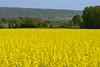 repce (kapopsx) Tags: colza repce domb hill virág vértes csókakő