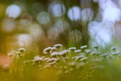 daisyfeelings (_andrea-) Tags: daisy gänseblümchen geisseblüemli bokeh bokehshots bokehjunkie bokehs beautifulshot bokehlicious bokehshot lowpov andrea images sonyalpha7mii sonya7m2 carlzeiss mount objektiv planart1450 outdoor nature frühling spring green atmosphere light licht