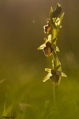 IMG_6926 Vexin - Ophrys araignée - Ophrys sphegodes (fabianvol) Tags: france francia macro prairie grassland pastizal plante plant planta fleur flower flor orchidaceae orchidée orchid orquídea orquidácea