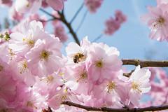 Bee on sakura. (Azariel01) Tags: 2018 bruxelles brussels belgique belgie belgium blossom floraison fleur flower spring printemps japancherrytree sakura cerisierdujapon bee abeille butine cherryblossom