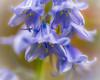 Unexpected bluebells in garden area! (Ade McCabe) Tags: bells blue macro sigma105mm sigma nikon nikond750 bluebell bluebells garden spring flowers