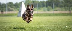 Hippity hopp (zola.kovacsh) Tags: outdoor animal pet dog ipo schutzhund germanshepherd meadow grass littledoglaughedstories