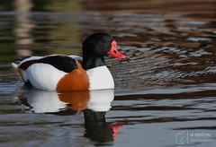Shelduck (mikedenton19) Tags: shelduck tadorna tadornatadorna duck martin mere martinmere wetland centre wildfowl wetlands trust wildfowlwetlandstrust wwt lancashire wildlife nature bird water