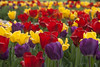 Field of tulips (Shotaku) Tags: garden flowers group mass plants plant blooms blooming bulbs bulb red yellow purple tulip sheltergardens