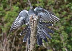 Cuckoo - incoming (KHR Images) Tags: cuckoo cuculuscanorus flying landing wild bird surrey nature wildlife nikon d500 kevinrobson khrimages