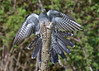 Cuckoo - incoming (KHR Images) Tags: cuckoo cuculuscanorus flying landing wild bird surrey nature wildlife nikon d500 kevinrobson khrimages