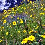 Yellow and Greens on a California Hillside thumbnail