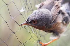 Untagling a Sylvia (Enricu) Tags: catalunya net sylviacantillans untagle eos80d bird animallovers cute ngc canon wildlife nature birdbanding