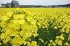 Rape Blossoms in Yokohama Town (しまむー) Tags: sony cybershot dscrx100 carl zeiss variosonnar t 104371mm 28100mm f1849 菜の花 横浜町 yokohama town rape blossoms