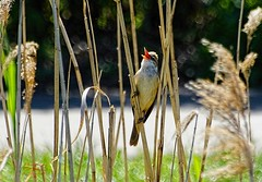 Still singing  :-) (Jurek.P) Tags: birds bird trzciniak greatreedwarbler singing ptaki ptak citypark park kępapotocka warsaw warszawa poland polska jurekp sonya77 spring
