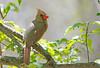 Springtime in New England (renzodionigi) Tags: cardinal hen