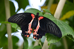 Scarlet  Mormon Butterfly (papilio rumanzovi) (Seventh Heaven Photography) Tags: scarlet mormon butterfly papiliorumanzovi papilio rumanzovi red wildlife nikond3200 papillon