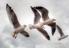 Four Silver Gulls (AdamsWife) Tags: australia westernaustralia bird birds 4 four silvergull wildlife wildbird wildlifeofaustralia flight flying