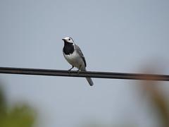 Bergeronnette grise (chriscrst photo66) Tags: animal oiseau bergeronnette grise ciel