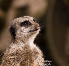 Just Lookin' (Siula85 (OceanBreezePhotography)) Tags: justlookin meerkat trotterswildlifepark nrbassenthwaite cumbria lakedistrict fujixt1 fujixf18135mm kazgreen oceanbreezephotography siula85 2018