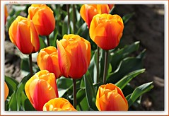 orange tulips to brighten your day! (MEA Images) Tags: tulips flowers gardens fields parks blooms flora nature roozengaarde skagitvalleytulipfestival mountvernon washington canon picmonkey