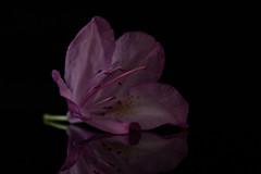 Macro Monday - Topic - Low Key (norasphotos4u) Tags: flowersplants canonef100mmf28lisusmmacro pink canon5dmkiv macro social ©noraleonard macromonday lowkey