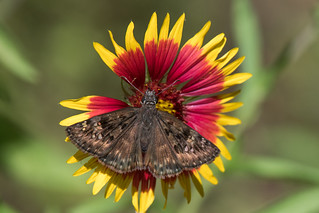 Small brown butterfly and firewheel flower