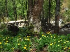 Dandelion Field (Robert Cowlishaw (Mertonian)) Tags: spring kneeling green deep yellow trees fields dandelion robertcowlishaw canonpowershotg1xmarkiii markiii g1x powershot canon mertonian wilderness nature