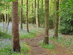 Blue path (katy1279) Tags: woodlandpathbluebellbluebellswoodlandspringspringtime
