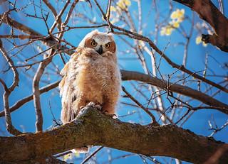 Arboretum Owlet