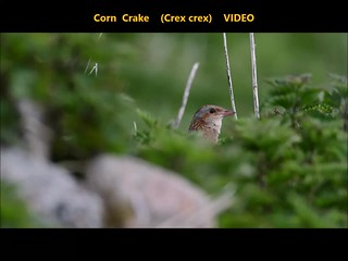 Corncrake (Crex crex)