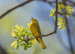 Yellow Warbler. (Estrada77) Tags: yellowwarbler wildlife birds birding nikon nikond500200500mm spring2018 may2018 illinois outdoors