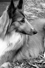 Bella.... (catherine4077) Tags: dog pet bella collie blackandwhite monochrome out