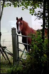 Changé (Sarthe) (gondardphilippe) Tags: changé sarthe maine paysdelaloire nature cheval horse arbre tree