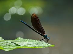 Calopteryx virgo (Kalmár_Zsuzsanna) Tags: calopteryxvirgo macro nature natur natura insect insekt insecto animal tier dragonfly olympuse620 bokeh