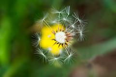 Spring (Francisco (PortoPortugal)) Tags: 0992018 20180511foli0304 primavera spring dandelion flor flower flora green yellow porto portugal portografiaassociaçãofotográficadoporto franciscooliveira